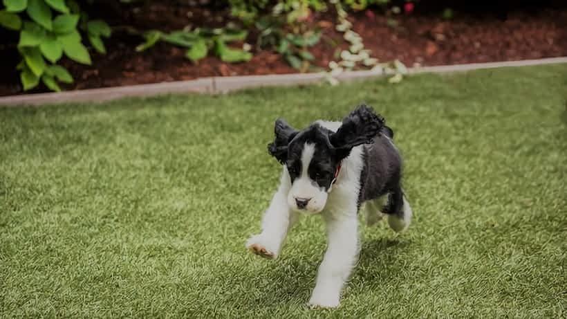 Como usar grama sintética para cachorros